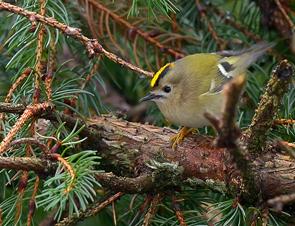 Kungsfågel Foto: Tommi Sandberg